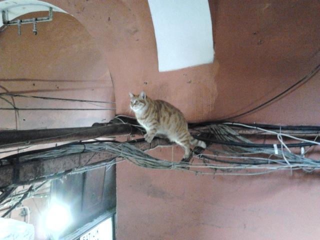 土耳其 伊斯坦堡 Grand Bazaar 貓