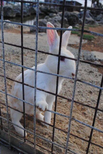 沖繩 殘波岬公園 兔子