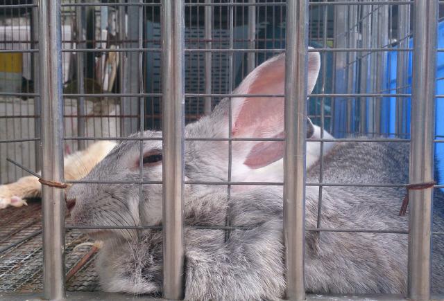 南生圍 敬輝農場 小兔