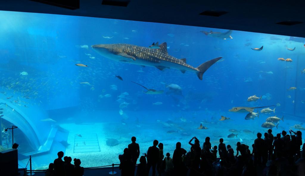 沖繩美麗海水族館 黑潮之海 鯨鯊之二
