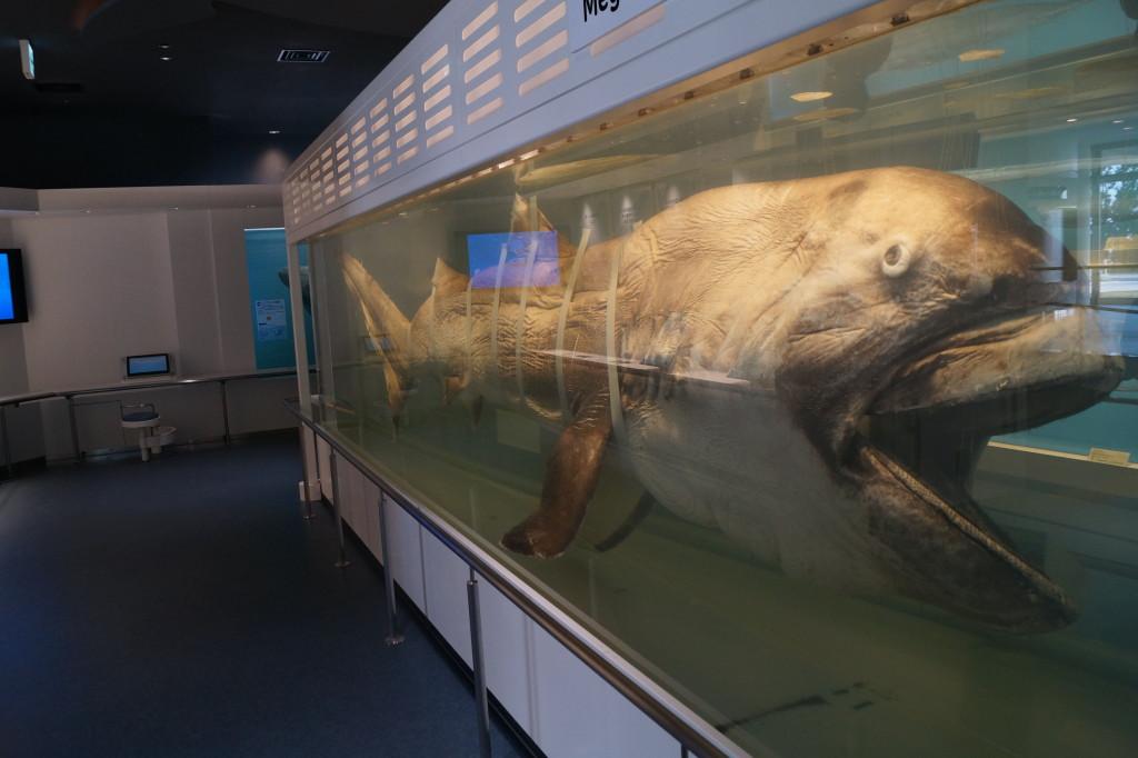 沖繩美麗海水族館 巨魚標本