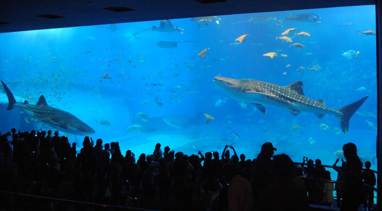 沖繩美麗海水族館 黑潮之海 鯨鯊